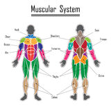 Human muscular system Stock Photography