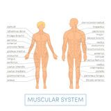 Human muscular system Royalty Free Stock Images