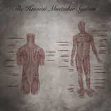 The human muscular system, part of body Royalty Free Stock Photo