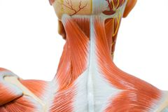Human neck muscle anatomy. For the education stock photos