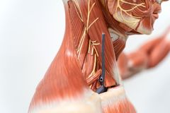 Human neck muscle for education stock photos