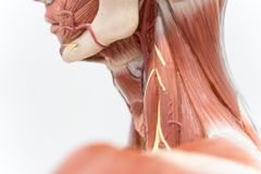 Human neck muscle for education stock images