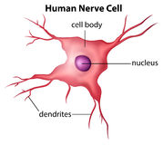 Human nerve cell. Illustration of the human nerve cell on a white background Stock Photos