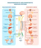 Human nervous system medical vector illustration diagram with parasympathetic and sympathetic nerves and connected inner organs.