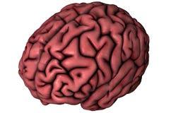 Human oblique brain. Human brain oblique anatomical view 3D illustration on white background stock illustration