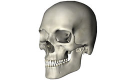 Human oblique skull. Human skull oblique anatomical view 3D graphic on white background stock illustration