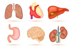 Human Organ Stock Photo