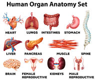 Human organ anatomy set Royalty Free Stock Images