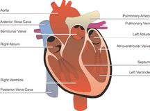 Human Organ. Consist of  heart digestive system and kidney in Stock Images