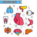 Human organ thin line illustration concept set. Design Royalty Free Stock Photography
