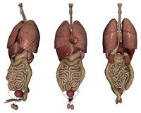 Human organs. 3D rendered human organs on white background isolated Stock Photography