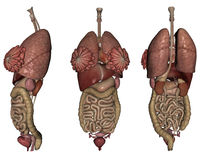 Human organs. 3D rendered human organs on white background isolated Royalty Free Stock Photos