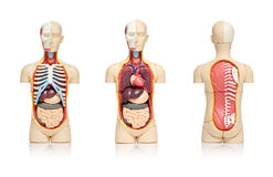 Human organs. Three views of a model of human body showing internal organs royalty free stock image