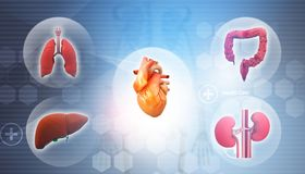 Human organs anatomy. 3d illustration Stock Illustration