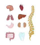 Human organs anatomy. Stock Image