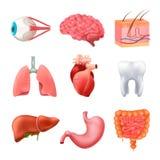Human Organs Anatomy Realistic Set vector illustration