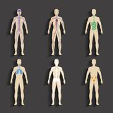 Human organs and body systems Stock Image