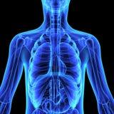 Human Organs Royalty Free Stock Images
