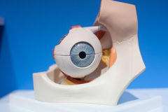 Human organs, eyes model Royalty Free Stock Photography