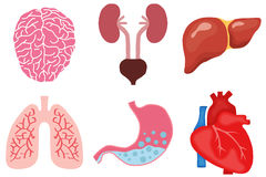 Human organs. Flat design, illustration Stock Illustration