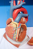 Human organs, heart model Royalty Free Stock Photo