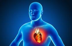 Human organs Royalty Free Stock Photo