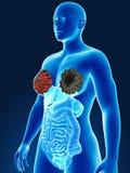 Human organs Stock Photography