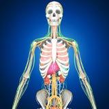 Human Organs Stock Images