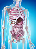 The human organs. Medically accurate illustration of the human organs Royalty Free Stock Photography