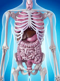 The human organs Royalty Free Stock Images