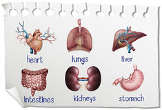 Human organs on the paper. Illustration Stock Photos