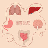 Human organs parts illustration lung intestine brain liver vector Royalty Free Stock Photography