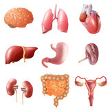 Human Organs Set Stock Photos