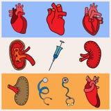 Human organs Stock Photos