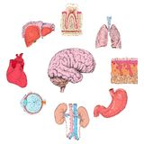 Human organs set. Of lungs heart brain kidney hand drawn isolated vector illustration Royalty Free Stock Images