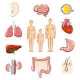 Human organs set. Silhouette people. Vector Stock Image