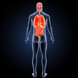 Human organs with skeleton posterior view Royalty Free Stock Images