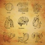 Human organs sketch Stock Images