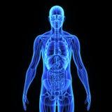 Human Organs Royalty Free Stock Image