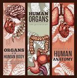 Human organs vector sketch anatomy poster. Human organs anatomy medical sketch poster. Vector respiratory, digestive and cardiovascular system of brain and hear vector illustration
