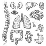 Human organs vector sketch body anatomy icons. Human body organs anatomy sketch icons of heart, brain or lungs and kidney or bladder organ, eye, tooth or royalty free illustration
