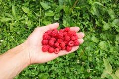 Human palm full of ripe raspberries Stock Image
