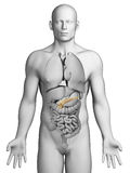 Human pancreas Stock Photography