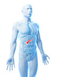 Human pancreas Royalty Free Stock Images