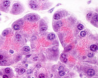 Human pancreas. Serous acini Royalty Free Stock Image