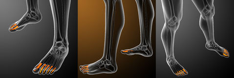 human phalanges foot stock images