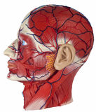 Human Physiology - Isolated. Human Physiology - Model of the human head showing major blood vessels and muscles royalty free stock photo