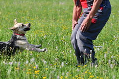 Human playing and training commnads the dog Stock Photography