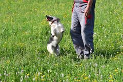 Human playing and training commnads the dog. Human playing and training the dog Royalty Free Stock Photo