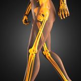 Human radiography scan. Made in 3D Stock Photos
